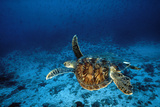 Green Turtle Swimming Underwater