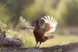 Pheasant Male Territorial Displaying
