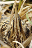 Bittern Close-Up