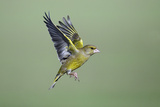 Greenfinch in Flight
