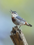 Kruper's Nuthatch in Pine Tree Calling