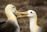 Waved Albatross Courtship Display
