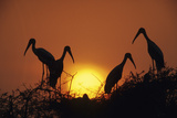 Painted Storks at Nest at Sunset