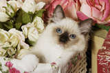 Ragdoll Seal Kitten in Basket Amongst Flowers