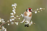 Goldfinch Spring Blossom