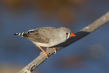 Zebra Finch Female