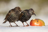 Starling in Snow Eating Apple