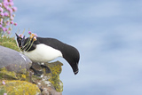 Razorbill Preparing to Leave Cliff Edge
