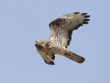 European Honey Buzzard Adult Male in Flight