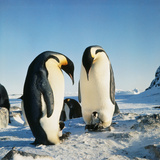 Emperor Penguin  Two Adults with Chicks
