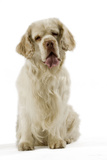 Clumber Spaniel Sitting Down