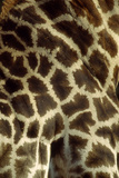 Southern Giraffe Markings