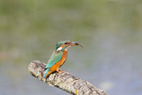 Kingfisher on Perch with Fish