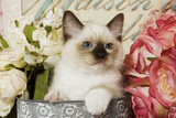 Ragdoll Seal Kitten Amongst Flowers