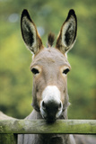 Donkey Looking over Fence