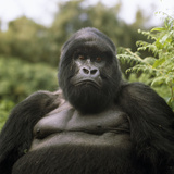 Mountain Gorilla Male