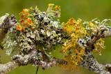 Lichens on Blackthorn