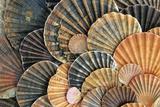 Scallop Shells Detailed Arrangement
