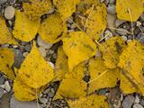 Black Poplar: Fallen Leaves on Riverside Gravel