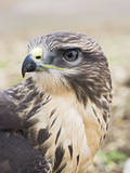 Common Buzzard Close Up of Head