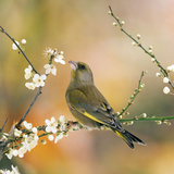 Greenfinch Perched in Blossom Tree