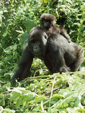 Mountain Gorilla with Baby on Back
