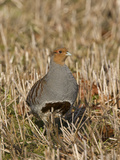 Grey Partridge Male Standing in Winter Stubble