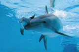 Bottlenose Dolphin Recently Born Calf Swims with Mother