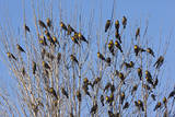 Yellow-Headed Blackbirds Flock Perched in Tree