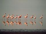 Lesser Flamingo Line of Eleven