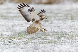 Common Buzzard in Flight About to Land on Snow