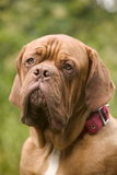 French Mastiff Dog