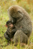 Olive Baboons Mother Feeding Baby
