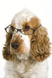 English Cocker Spaniel Wearing Glasses