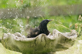 Starling Bathing in Birdbath