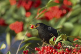 Blackbird Feeding on Autumn Berries