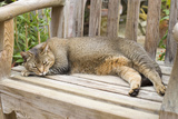 Abyssinian Cat Sleeping on Wooden Garden Bench
