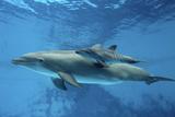 Calf Dolphin