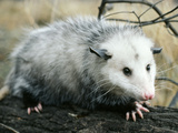 Opossum Walking on Tree Branch