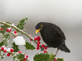 Blackbird Male Feeding on Holly Berries