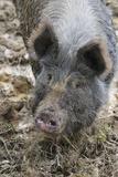 Berkshire Pig in Mud (Head Shot)