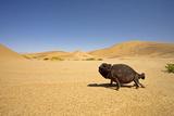 Namaqua Chameleon with Dunes