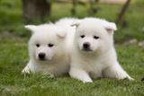 Akita Inu Puppies in Garden