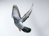 Homing Pigeon in Flight