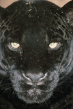 Black Jaguar Papier Photo