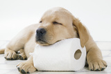 Yellow Labrador Puppy Asleep on Toilet Roll, 9 Weeks Papier Photo