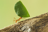Leaf Cutter Ant with Leaf