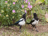 Magpie Youngsters Interacting in Garden