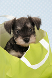 Miniature Schnauzer Puppy (6 Weeks Old) in Bag