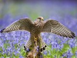 Kestrel Female Landing on Stump in Bluebell Wood